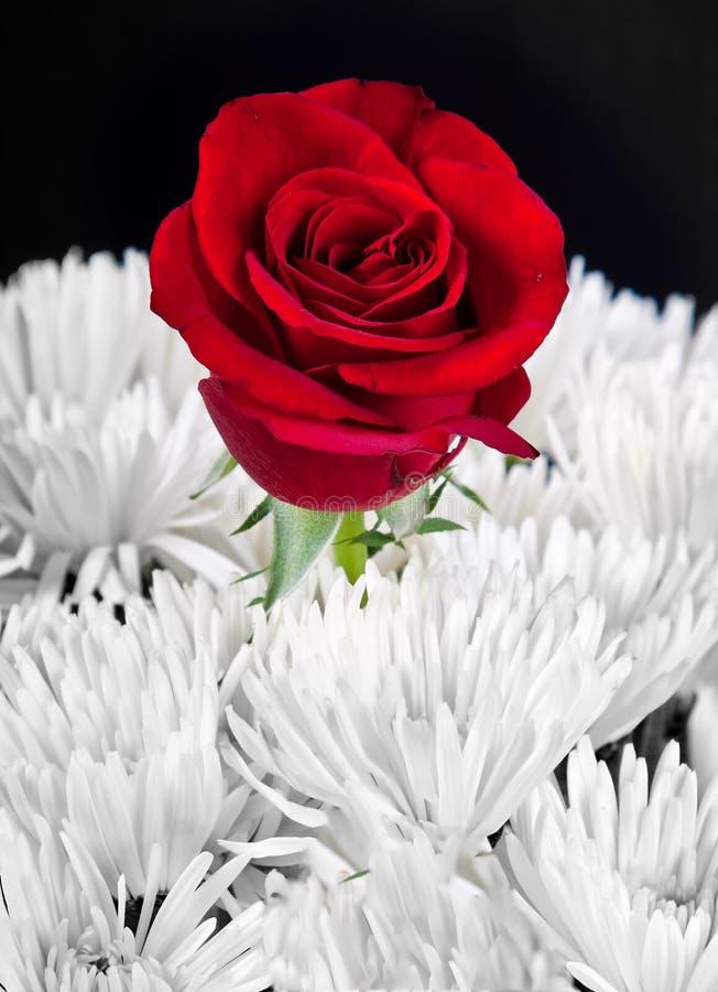 L'immagine in bianco e nero con colore rosso è aumentato fotografie stock