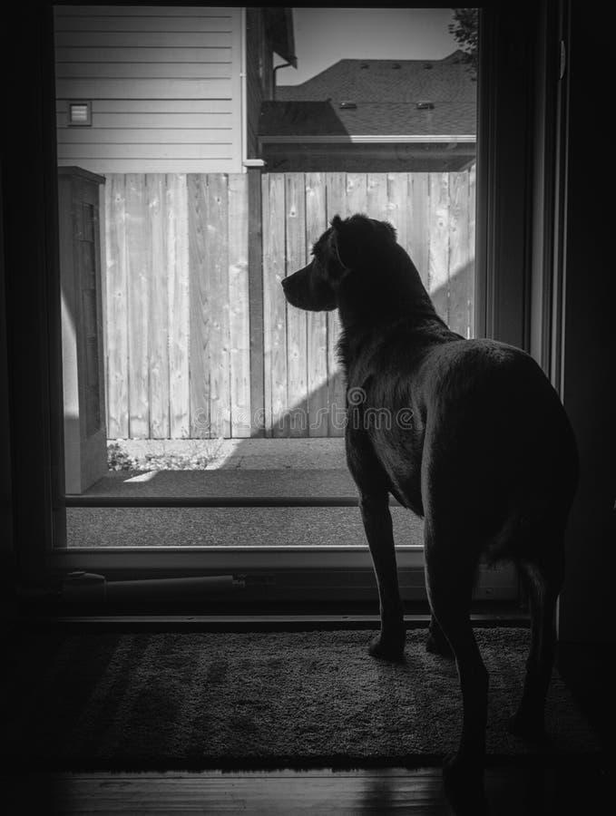 L'immagine in bianco e nero di un cane di sguardo triste sta alla porta di vetro che aspetta il loro proprietario per arrivare in fotografia stock