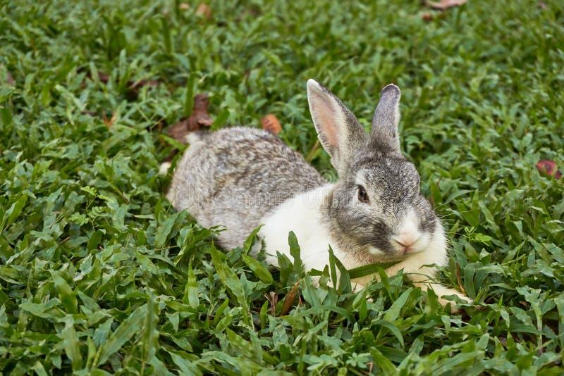 L'immagine dei conigli resta sul campo di erba verde immagine stock libera da diritti
