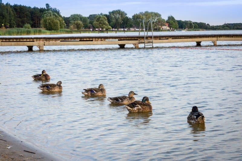 L'immagine del gruppo ducks il germano reale che si siede sull'acqua accanto al pilastro di legno fotografia stock libera da diritti