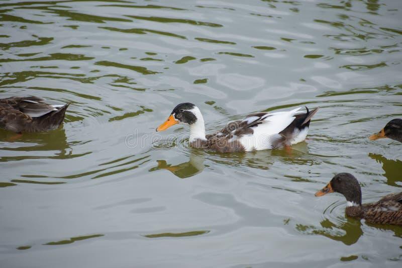 L'immagine dell'anatra è il nome comune per tantissime specie nelle anatidae della famiglia degli uccelli acquatici che inoltre i fotografie stock