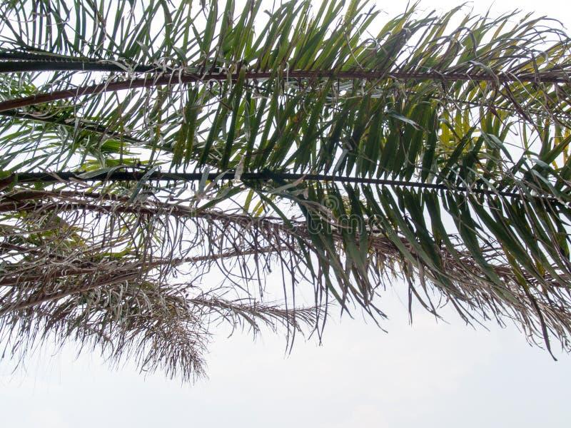 L'immagine di sfondo delle foglie della noce di cocco con fondo bianco, l'immagine ha asciugato le foglie e le foglie fresche fotografie stock libere da diritti