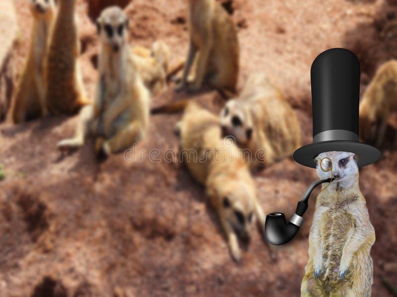 L'impair un vieux meerkat snob anglais de messieurs portant une position de chapeau supérieur devant sa famille normale photos libres de droits