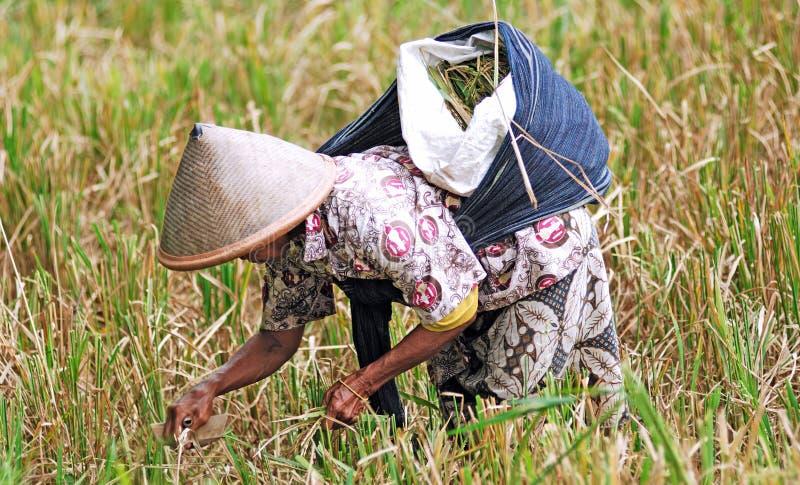 L'Indonesia, Java: Agricoltura del riso immagini stock libere da diritti