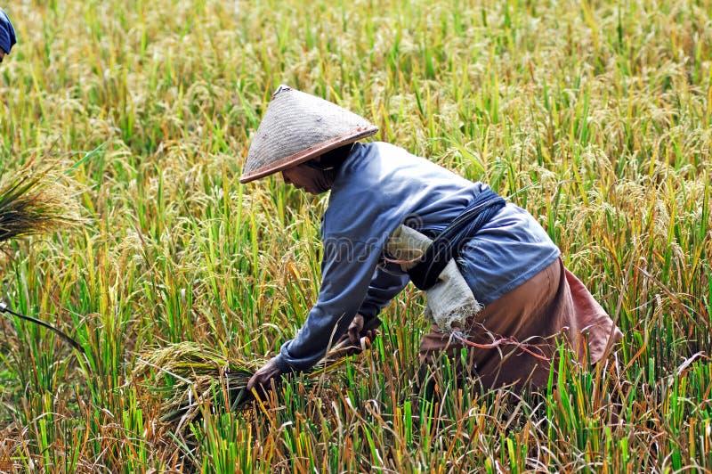 L'Indonesia, Java: Agricoltura del riso fotografie stock libere da diritti