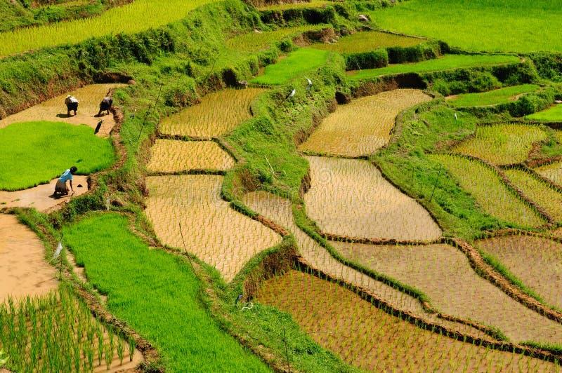 L'Indonesia, Sulawesi, Tana Toraja, terrazzi del riso immagini stock libere da diritti