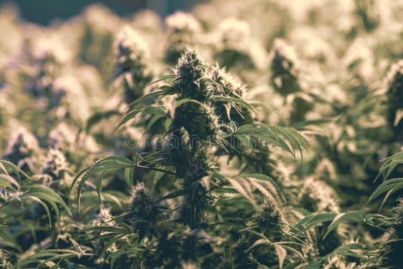 L'industria legale della marijuana coltiva la funzione fotografia stock libera da diritti