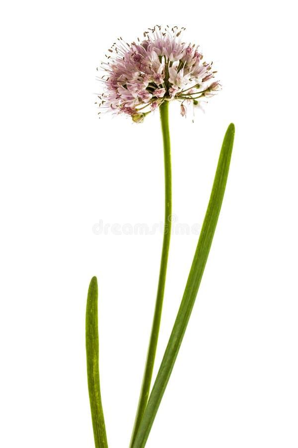 L'inflorescence de l'oignon décoratif, allium ornemental fleurit, photos stock