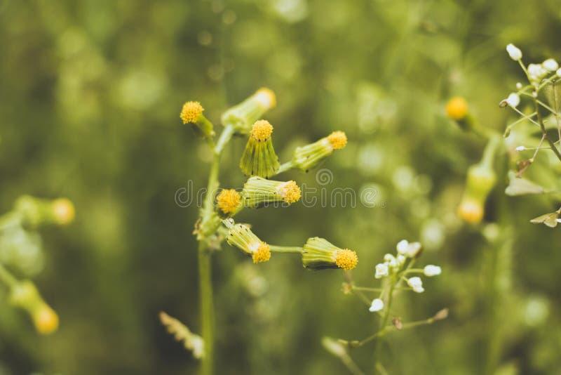 L'inflorescenza di piccoli ed insolitamente bei fiori, che ancora non sono sbocciato, si sviluppa in uno schiarimento di bella es fotografia stock libera da diritti