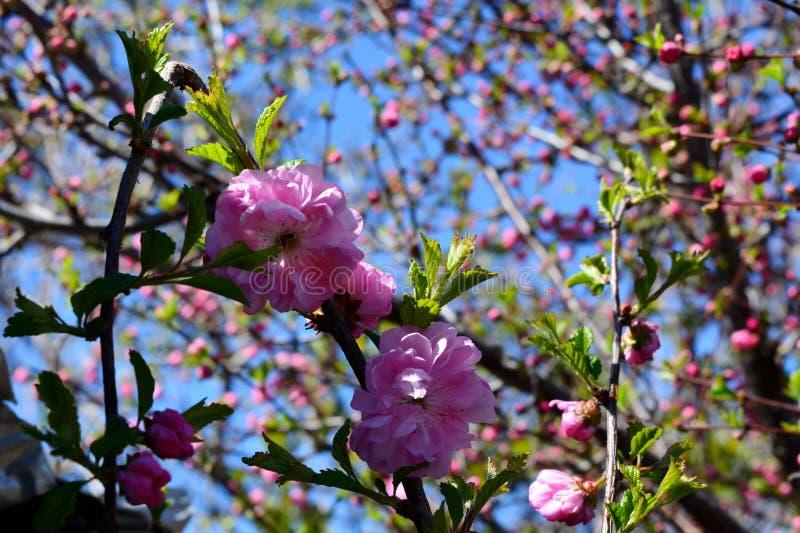 L'inizio della fioritura del mandorlo Bei fiori rosa immagine stock