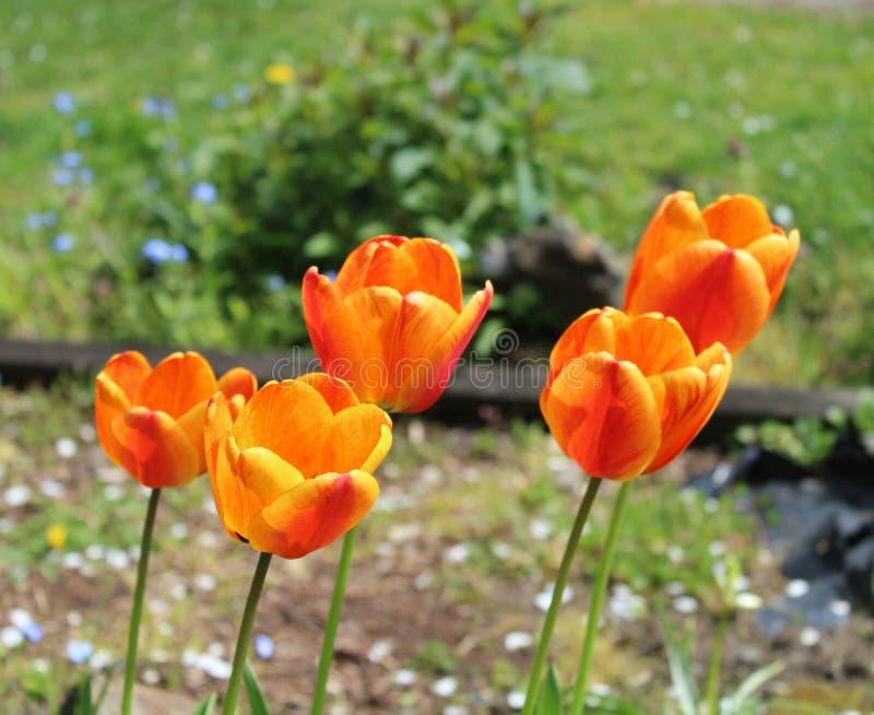 L'inizio della molla in un tulipano fotografia stock