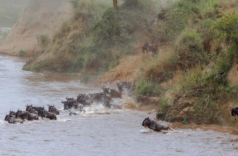 L'inizio dello gnu dell'incrocio su Mara River Il Kenia, Africa fotografie stock libere da diritti