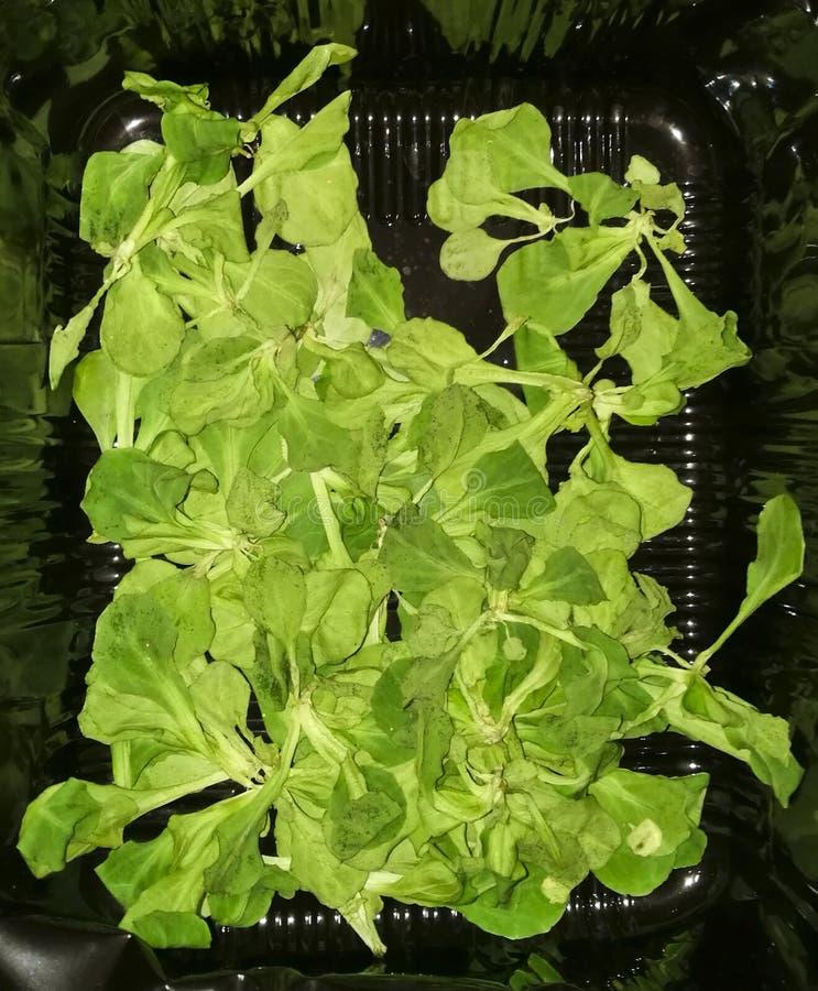 L'insalata asciutta del mache va, fondo, l'ecologia immagine stock
