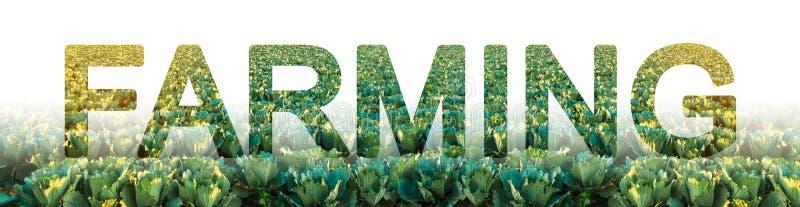 L'inscription cultivant sur le fond d'un champ de plantation de chou Nourriture croissante de ferme pour la revente et le traitem image libre de droits