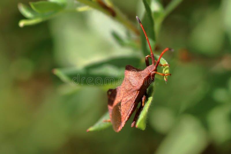 L'insecte brun de bouclier déguisé sous la feuille d'une usine, se repose sur une feuille images libres de droits