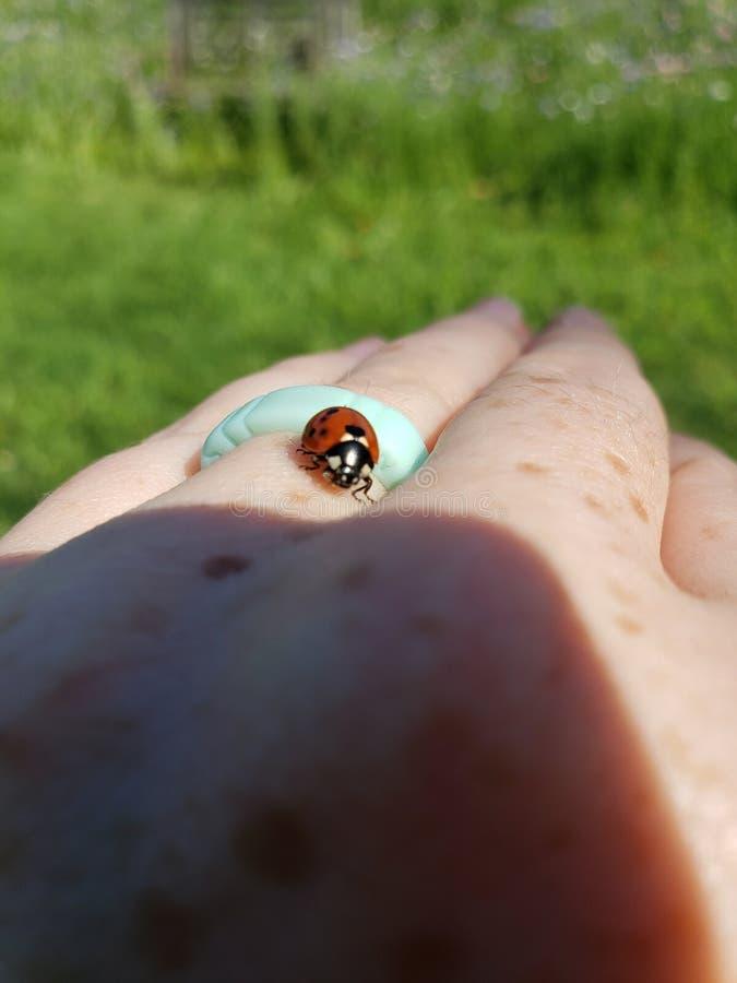 L'insecte de Madame rampe en main images stock