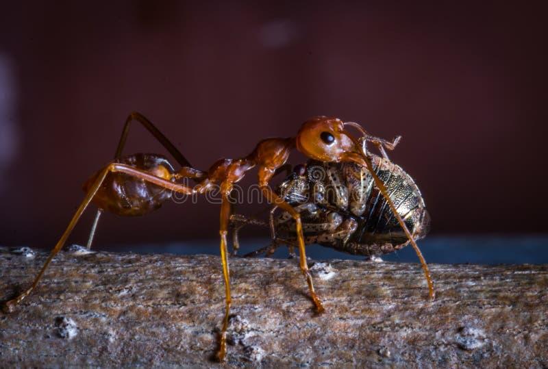 L'insecte de transport de fourmi rouge pour mangent photos stock