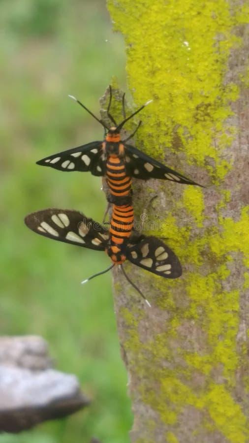 L'insecte obtiennent le sexe photo stock
