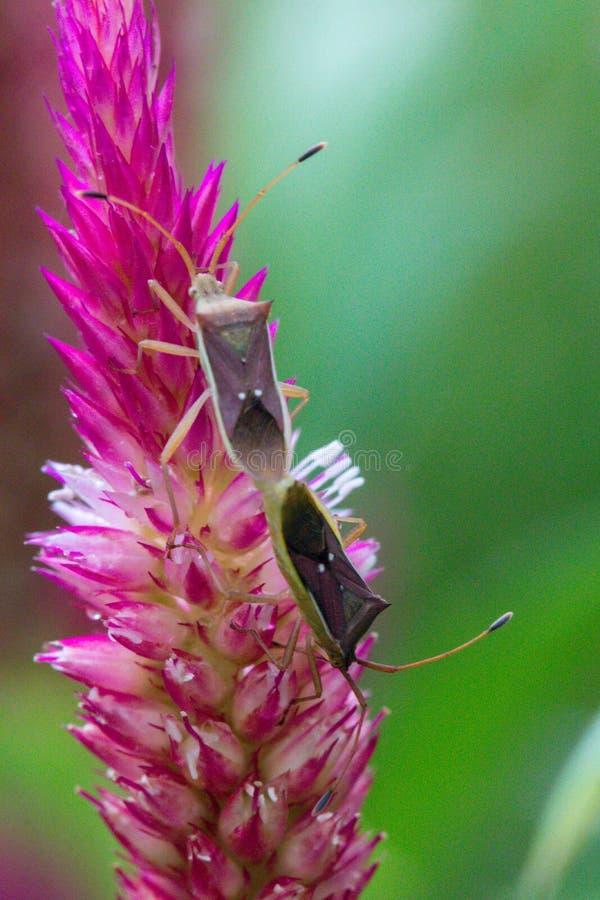 L'insetto è sul fiore rosa in giardino fotografie stock