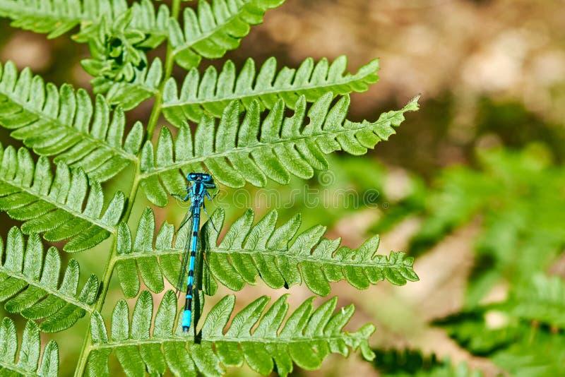 L'insetto blu sopra grren la foglia fotografia stock