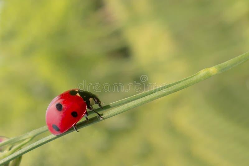 L'insetto, Ladybird, scarabeo, si chiude su fotografia stock