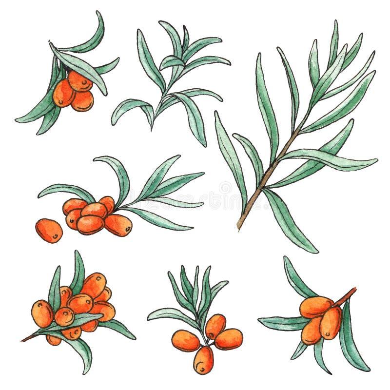L'insieme disegnato a mano dell'illustrazione dell'acquerello dell'olivello spinoso ha isolato gli elementi su fondo bianco illustrazione vettoriale