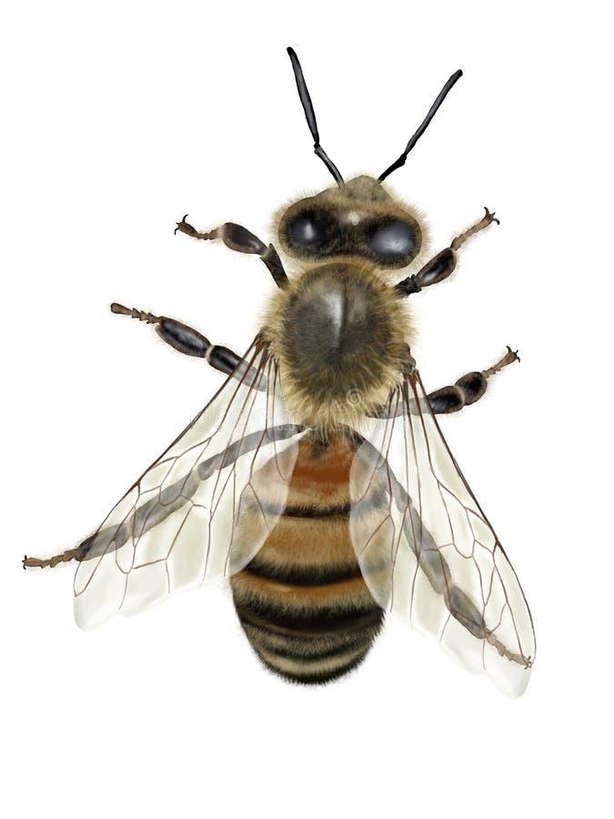 l'instruction-macro d'isolement par miel détaillé par abeille a empilé très le blanc illustration de vecteur