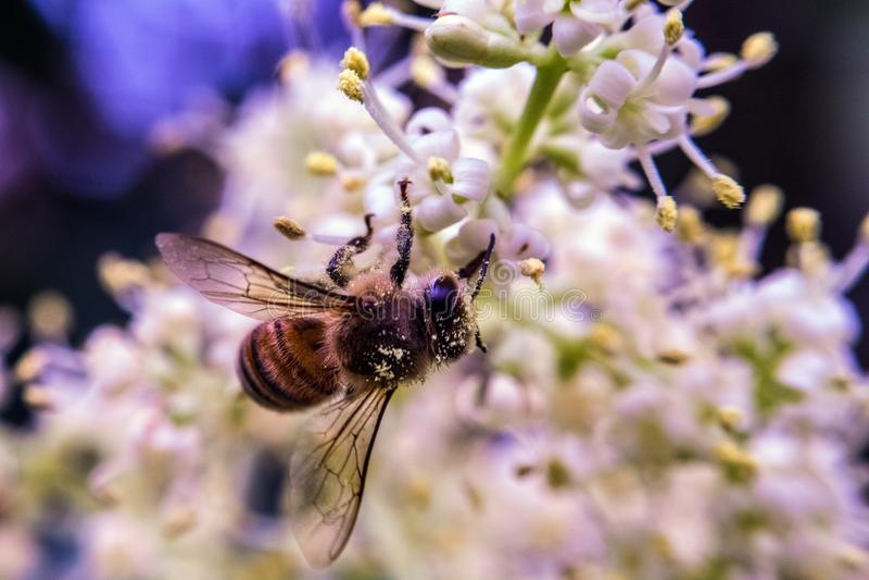 l'instruction-macro d'isolement par miel détaillé par abeille a empilé très le blanc photographie stock libre de droits