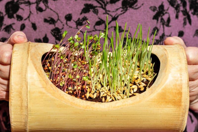 ? l'int?rieur radis et jeunes plantes ou pousses d'orge photographie stock libre de droits