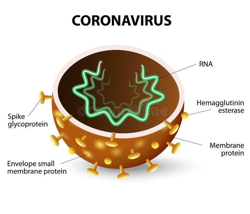 L'interno di un coronavirus illustrazione di stock
