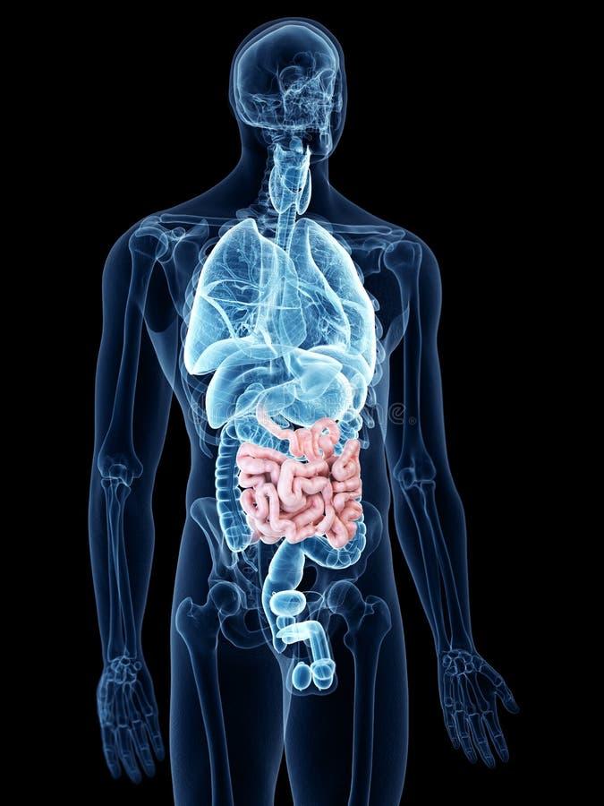 l'intestin grêle illustration stock