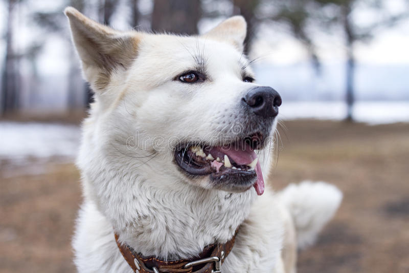 L'inu heureux d'akita de chien a collé sa langue photo stock