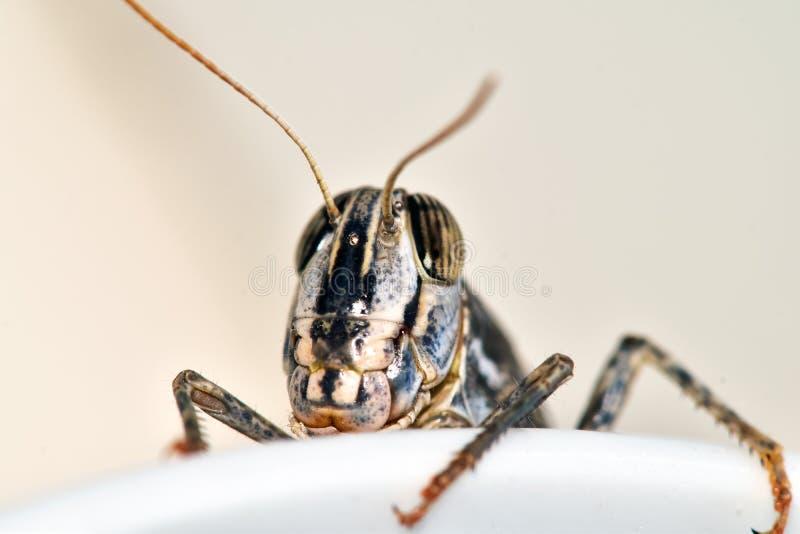 L'invasione della locusta, insetti invade la casa immagini stock