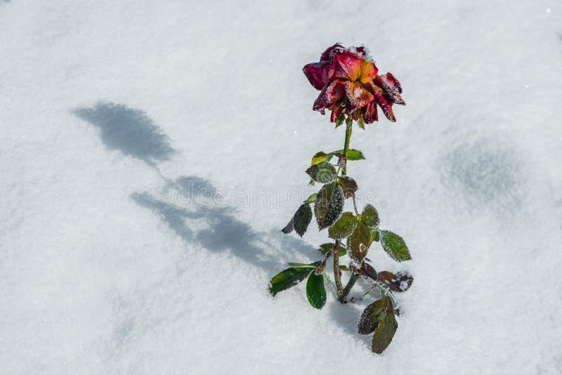 L'inverno è aumentato fotografia stock libera da diritti
