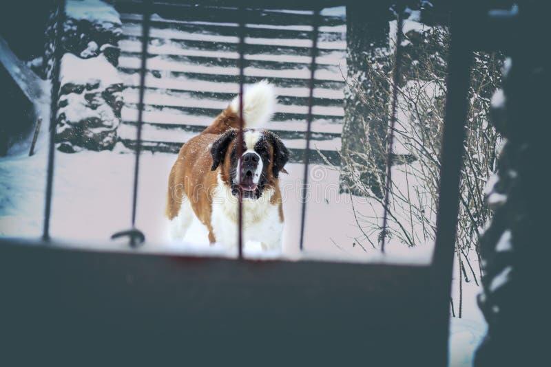L'inverno sta nevicando dietro il Caucasico-pastore del cane delle barre Concetto del morso di cane abbia tonalità fotografie stock