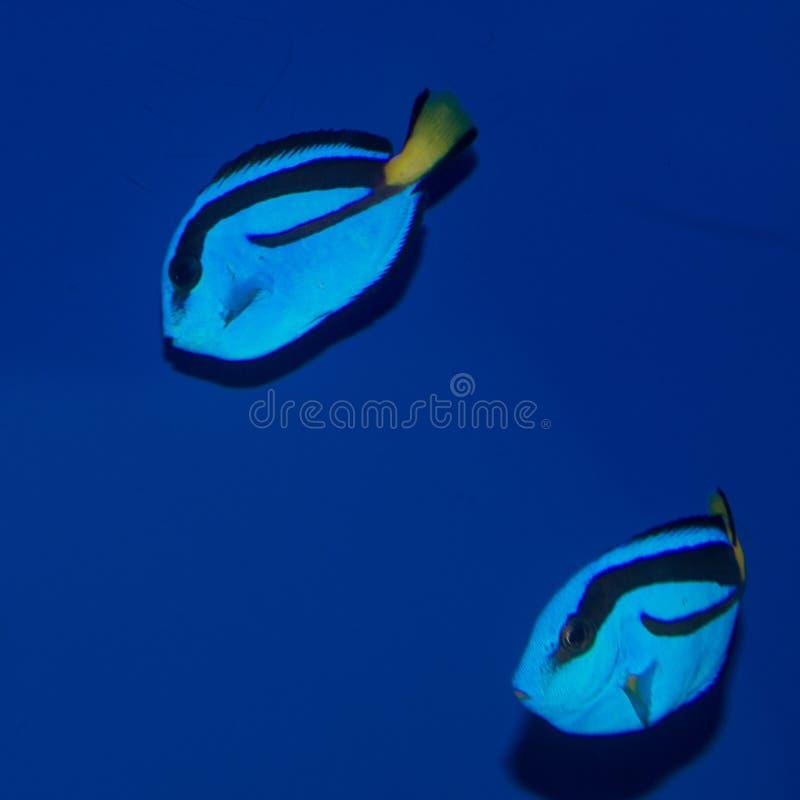 L'ippopotamo blu giovanile munisce il paracanthurus hepatus di codolo immagine stock