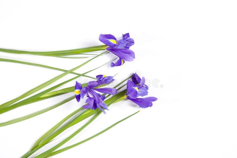 L'iride bulbosa di xiphium di Violet Irises, sibirica dell'iride su fondo bianco con spazio per testo Vista superiore, disposizio fotografia stock