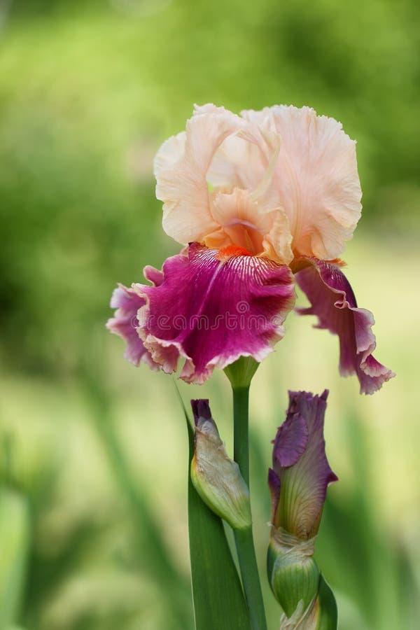 L'iris de la sorte d'unité centrale Aby photo stock