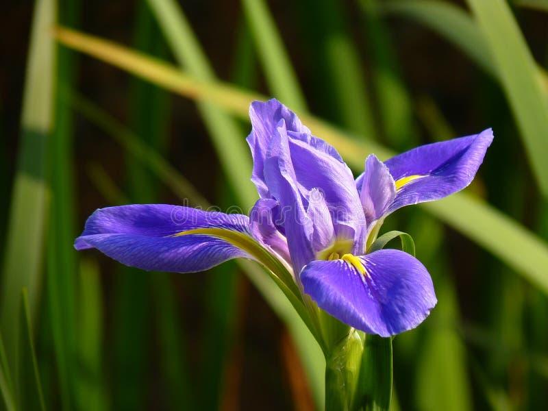 Download L'iris Est Un Symbole De Force Et D'éloquence Photo stock - Image du force, floraison: 87702524