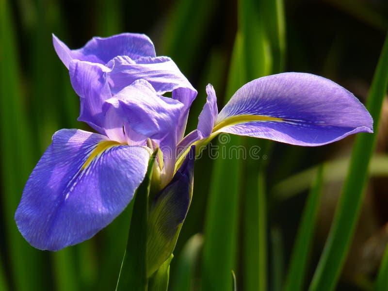 Download L'iris Est Un Symbole De Force Et D'éloquence Image stock - Image du pourpré, ensoleillé: 87702553