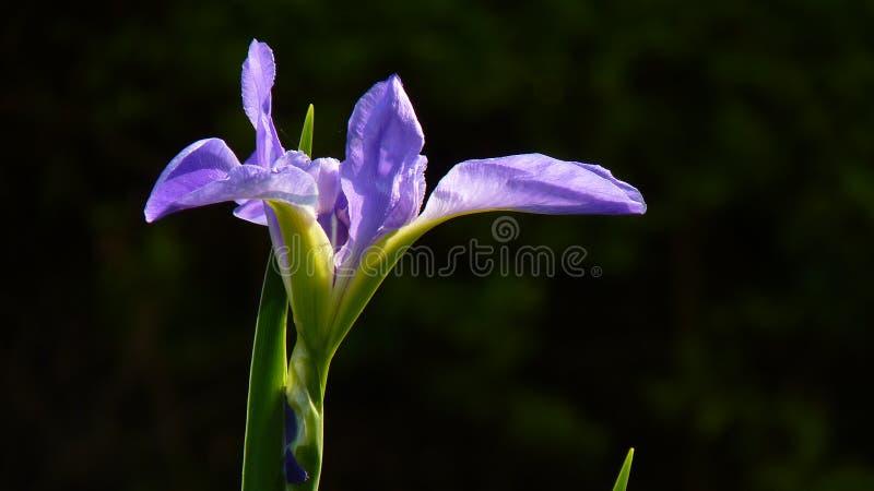 Download L'iris Est Un Symbole De Force Et D'éloquence Photo stock - Image du normal, symbole: 87702564