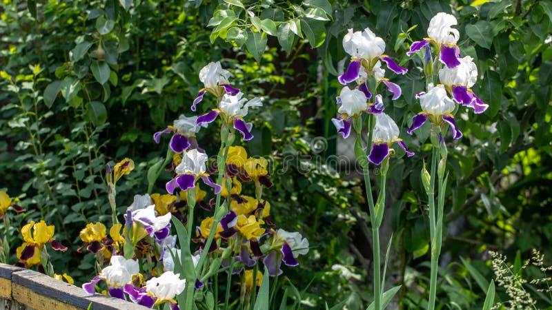 L'iris lilas violet de floraison de fleurs de fond se développent dans un parterre photographie stock