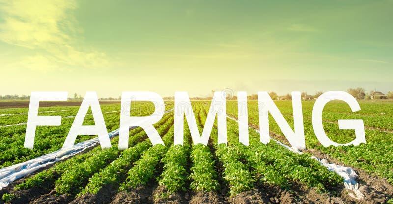 L'iscrizione che coltiva sui precedenti di un campo della piantagione della patata Bello paesaggio Bello paesaggio agricolo immagine stock