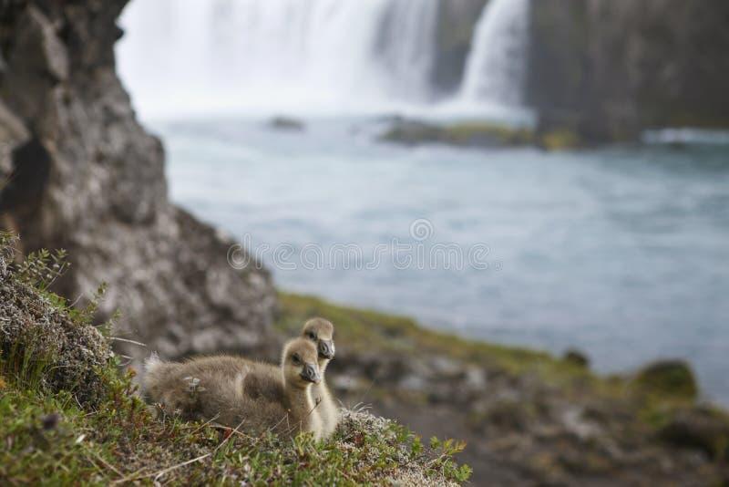 L'Islanda. Una coppia di anatroccoli islandesi dell'edredone e wate di Godafoss immagine stock libera da diritti
