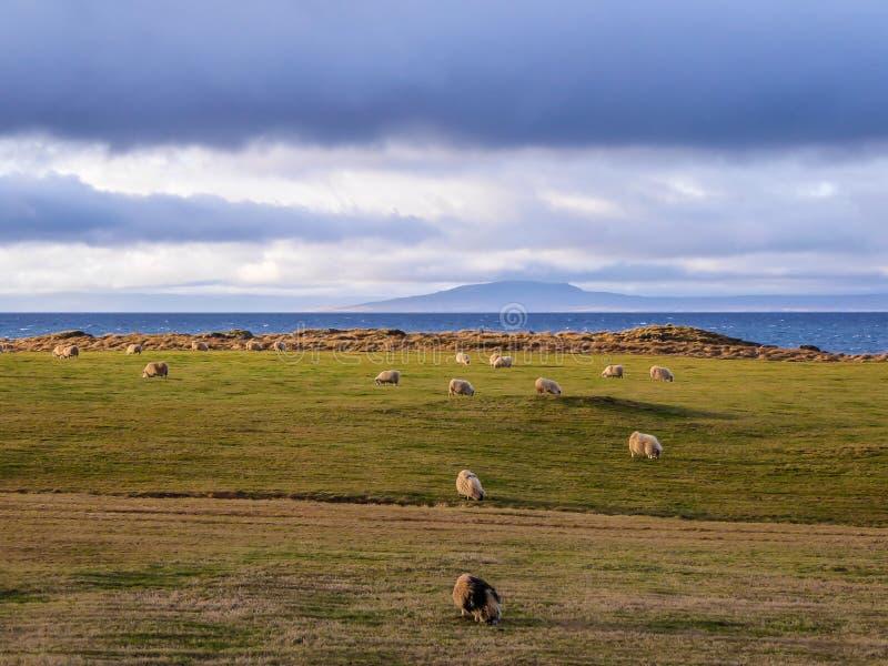 L'Islanda - una pecora sentita parlare che pasce sul prato dal fiordo immagini stock libere da diritti