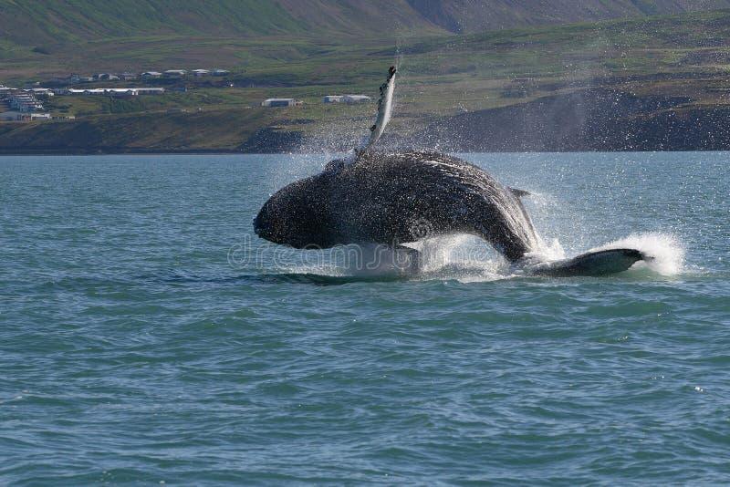 l'Islande - exposition de baleine photographie stock