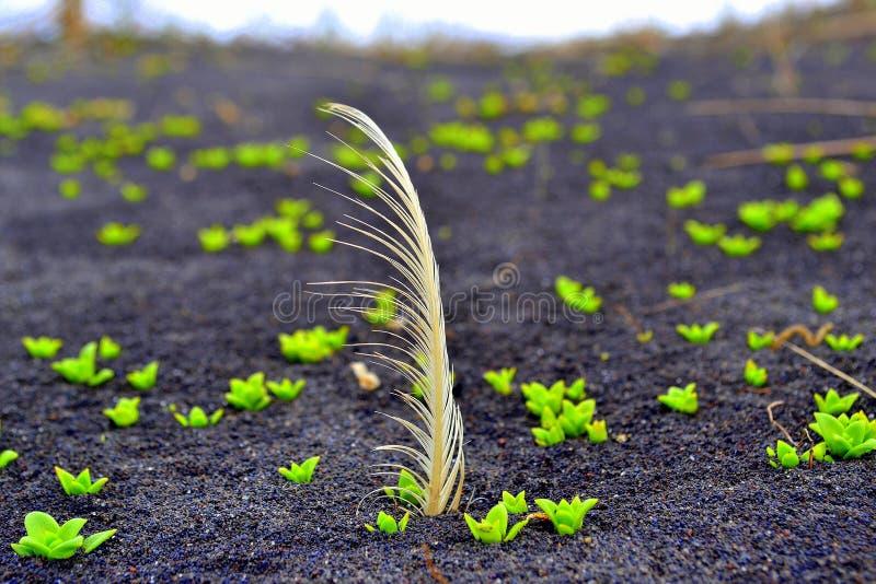 l'islande Plume plantée dans le sable noir photos stock