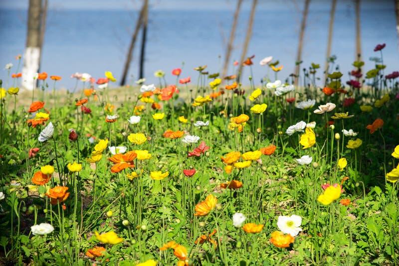 L'Islande Poppy Flower photographie stock
