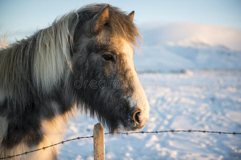 L'islandese ha colorato il cavallo un giorno di inverno soleggiato con neve su fondo, Islanda immagini stock