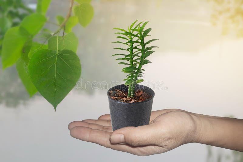 L'isolat de la main tiennent peu d'arbre dans un petit appel Bandai Ngaen de pot en tant qu'arbre d'échelle d'argent images libres de droits